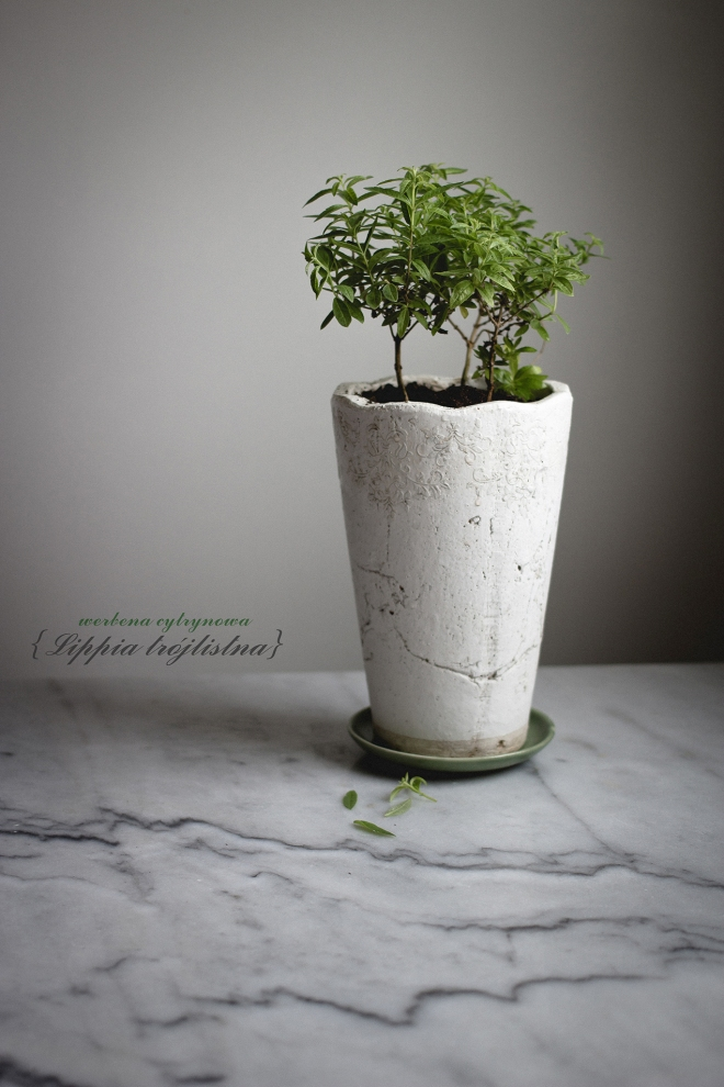 Lippia trójlistna, czyli werbena  | chilitonka